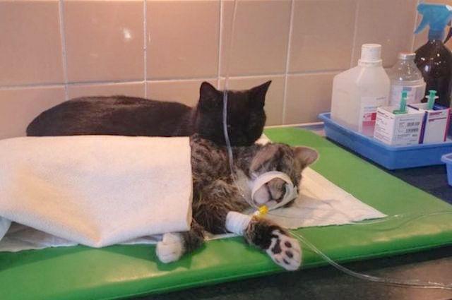 Polish cat comforts sick cat-Imgur