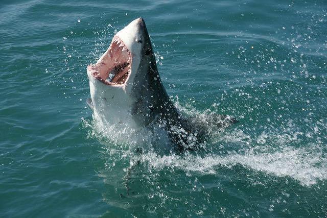 Shark-in-water-travelbagltd