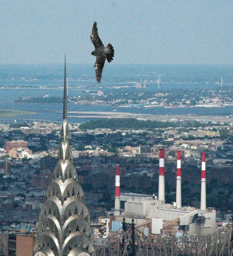 TerryTurner-Peregrine Falcon flying over Chrysler bldg-verticle-frame-submitted