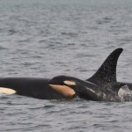 baby Orcas w mom-CenterforWhaleResearch-released-byJeanne_Hyde