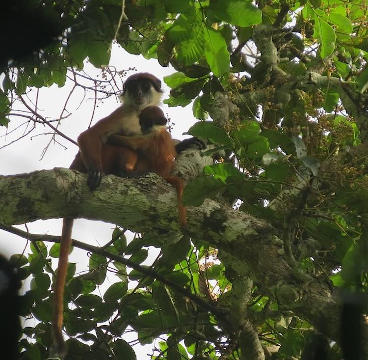 bouvieri_red colobus monkey-LievenDevreese-WCSrelease