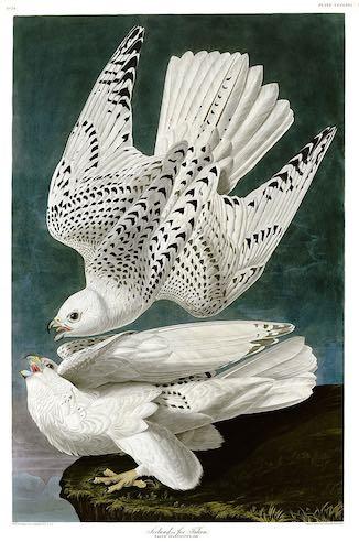 gyrfalcons-Audubon
