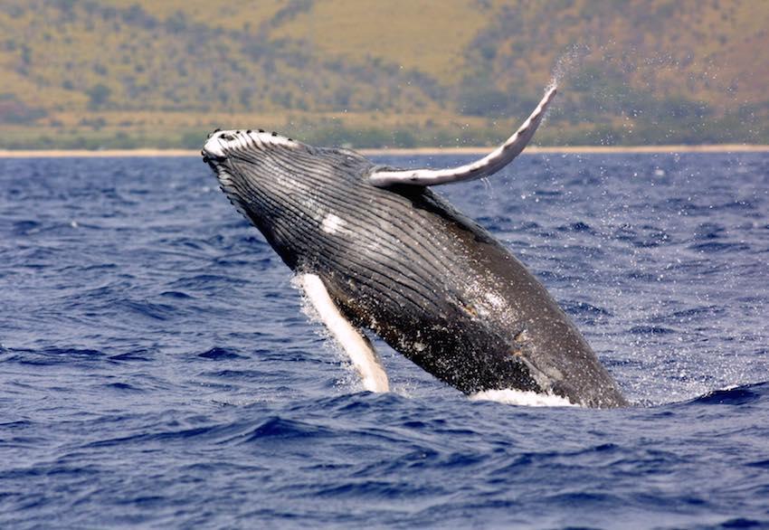 humpback whale_noaa