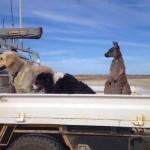 kangaroo-with-dogs-on-farm-Familyphoto-FelicityStewart