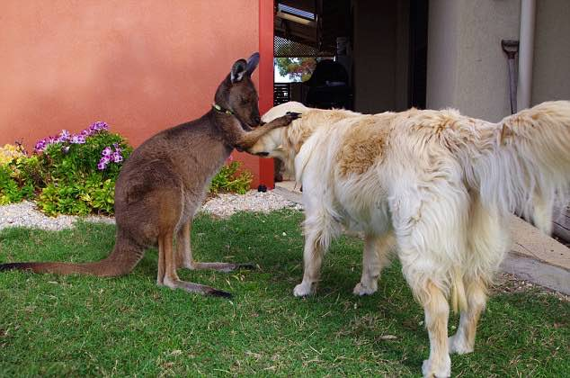kangaroo-with-retriever-AshleySteward-familyphoto