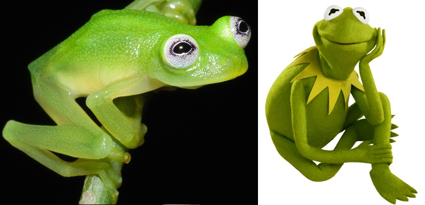 kermit-frog-lookalike-discovered-diane-bare-hearted-glassfrog-costa-rica