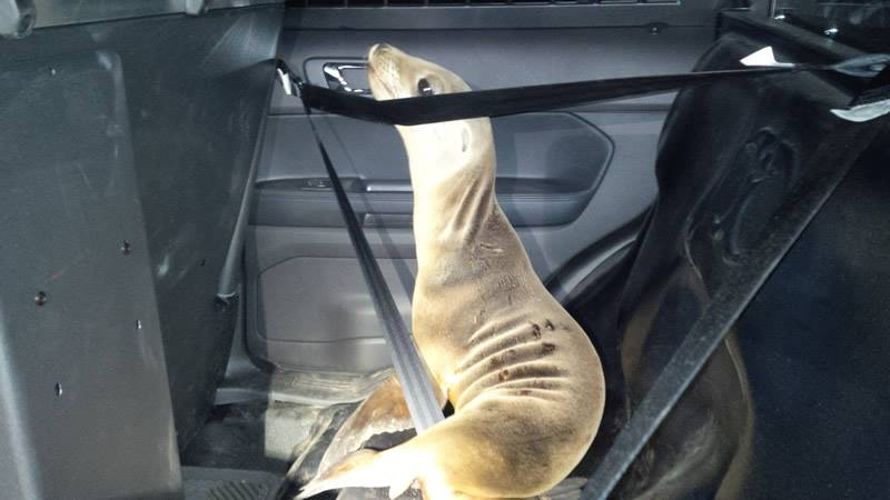 sealion in seat belt Mendocino County Sheriff