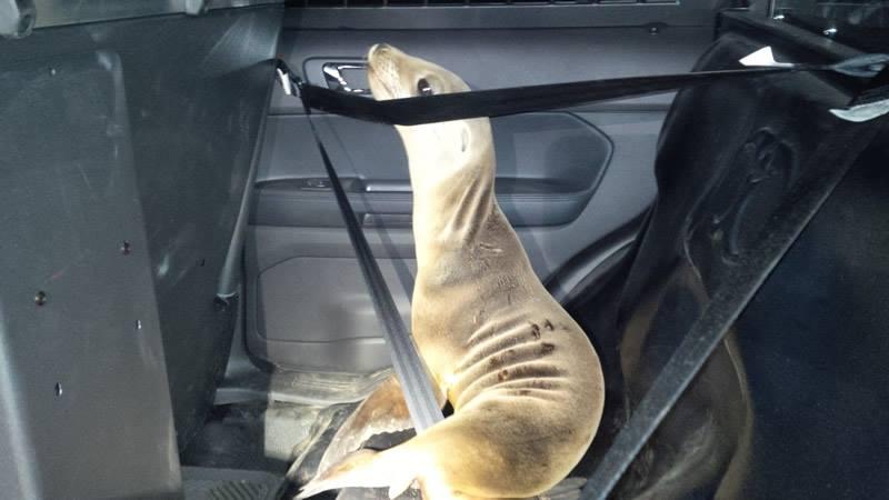 sealion in seat belt Mendocino County Sheriff