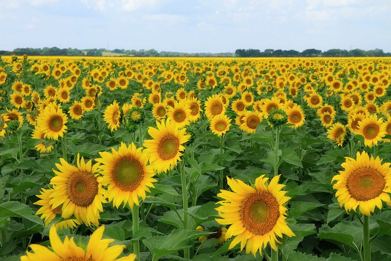 sunflower-field-cc-TexasEagle-800px