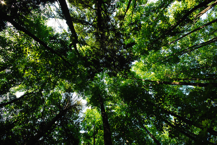 Forest-Canopy-PhotoCredit-wackybadger-CC