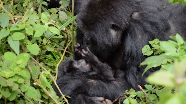 Gorilla-baby-with-parent-in-Virunga-DianFosseyGorillaFund-released