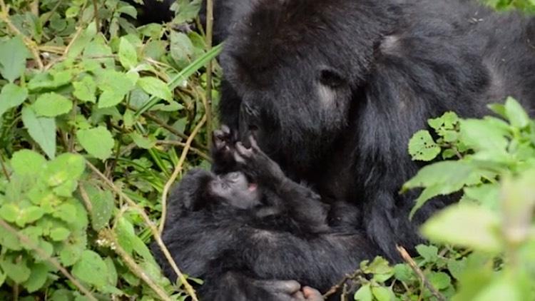 Gorilla-baby-with-parent-in-Virunga-DianFosseyGorillaFund-released