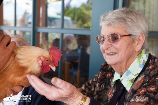 Nursing Home Farm Animal Visit Rooster Edgars Mission Permission