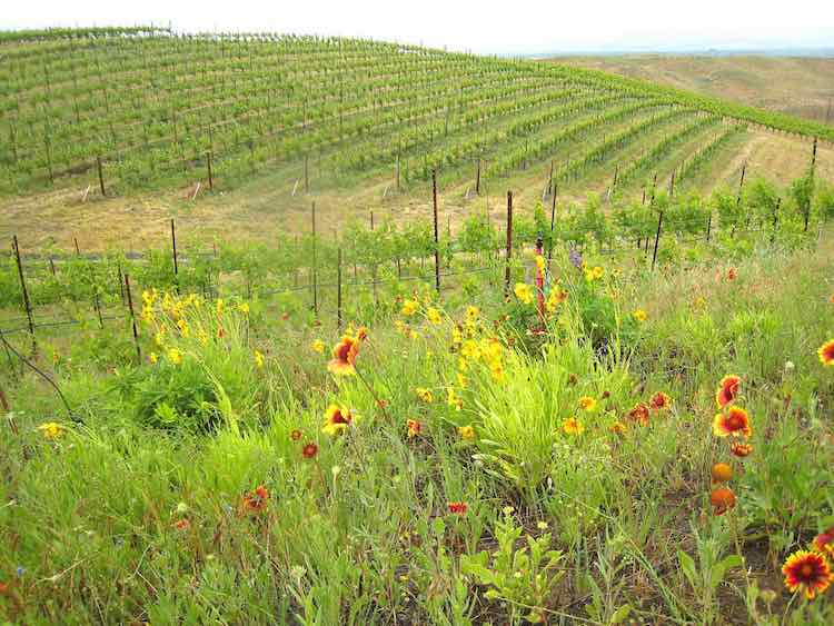 Vineyard-Butterfly-Habitat-Photo-Credit-Washington-State-University