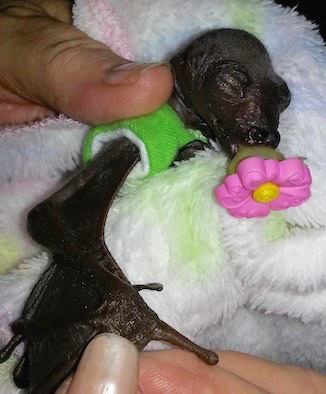 baby bat-Australian Bat Clinic + Wildlife Trauma Centre-CarlaHarp-FB