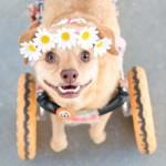 instagram-wheelchair-pup-Sheena-Main