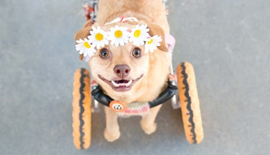 instagram-wheelchair-pup-Sheena-Main