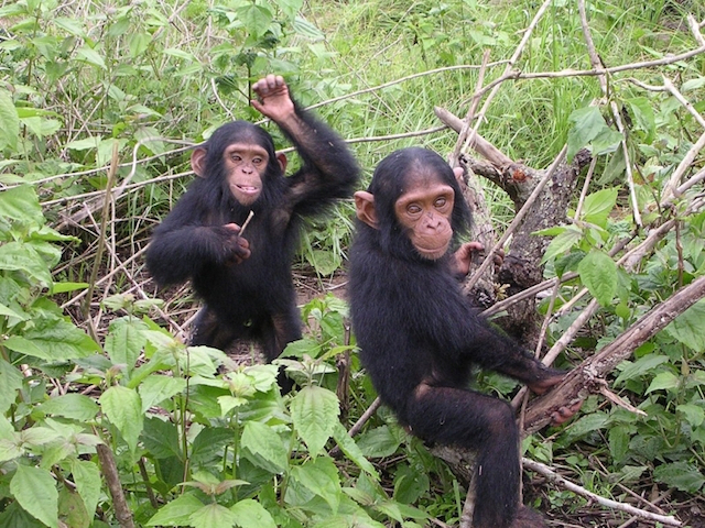 Chimps-photoby-Delphine Bruyere