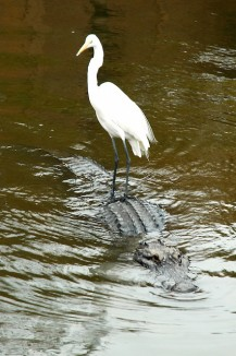 Great-white-egret-Gator-gatorland-Terry-Turner-CC