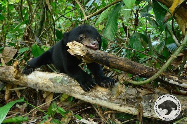 Kala-Sun-Bear-Facebook-Bornean Sun Bear Conservation Centre1