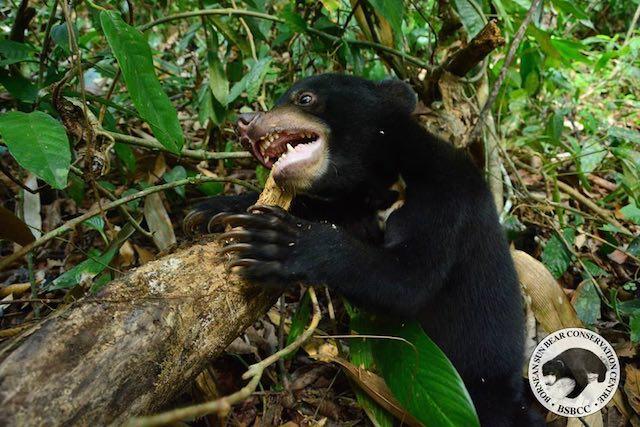 Kala-Sun-Bear-Facebook-Bornean Sun Bear Conservation Centre4