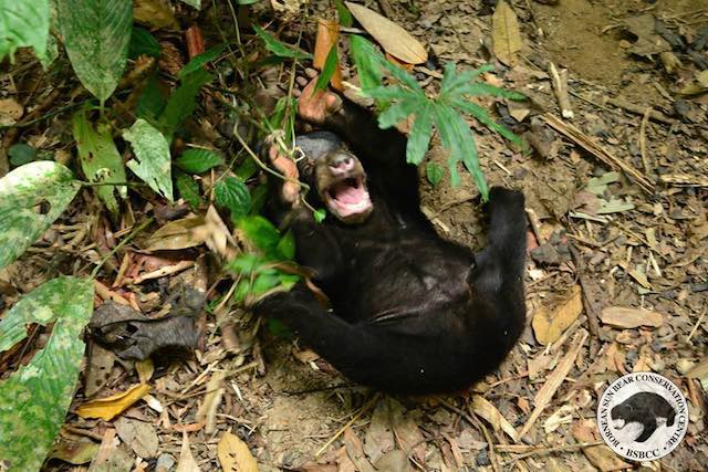Kala-Sun-Bear-Facebook-Bornean Sun Bear Conservation Centre6