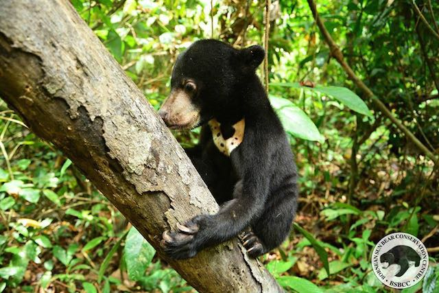 Kala-Sun-Bear-Facebook-Bornean Sun Bear Conservation Centre8