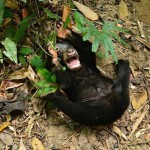 Kala-Sun-Bear-Facebook-Bornean-Sun-BearConservationCentre-750px