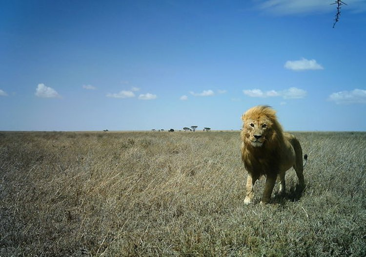 Lion-photoby-Snapshot-Serengeti-FB-page