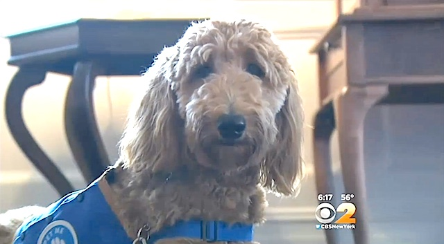 Lulu-funeral-therapy-dog-WCBS-video