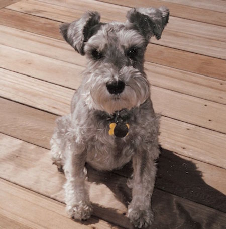 Maddie the schnauzer Maddies Fund Submitted