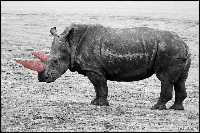 Pink_horned_rhino_CC_Arend-Vermazeren