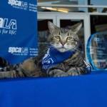 Tara Tabby Cat Award credit SPCALA
