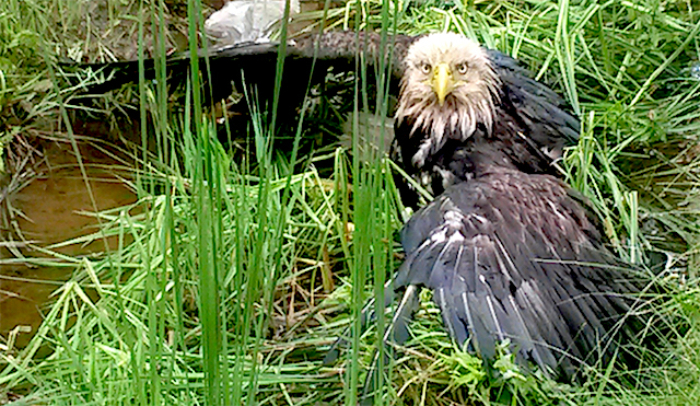 bald_eagle_injured-photoby-NY-State-Police