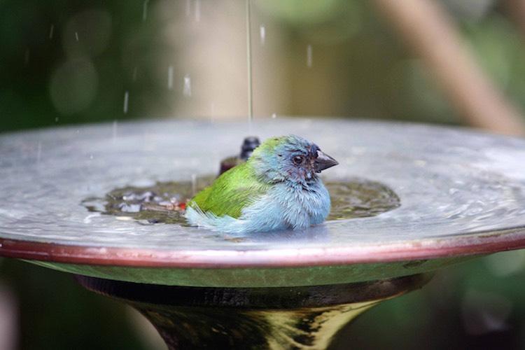 blue-bird-in-birdbath-CC-andrea-oconnell-750px