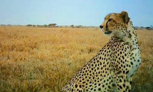 cheeta-snapshot-serengeti-FB-page