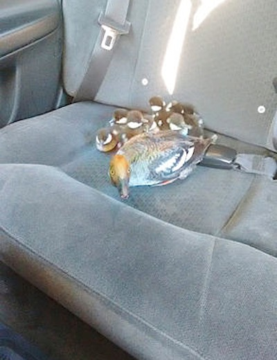 ducks-ducklings-in-backseat-familyphoto-Urga Adunga