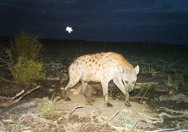 hyena-snapshot-serengeti-FB-page