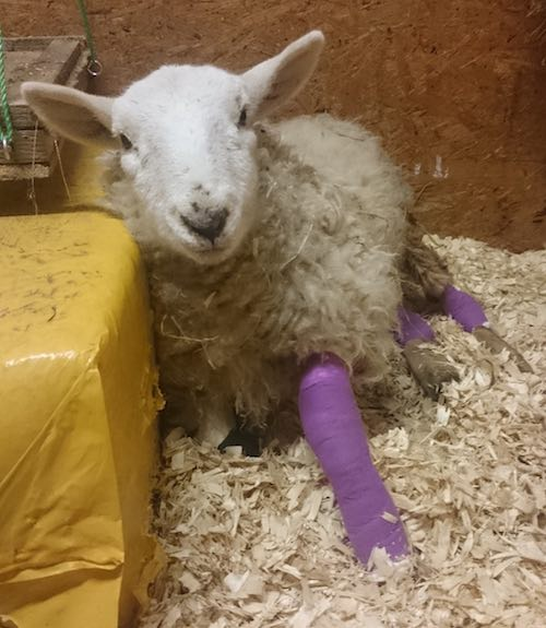 juliet-the-sheep-bandaged-submitted-Lucy-Laing