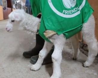 lamb-in-tote-bag-edgars-mission-video