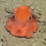 opisthotheusis-adorabilis-sea-floor-octopus-Monterey Bay Aquarium Research Institute-release