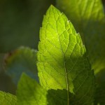 peppermint-leaf-CC-Juan Carlos Martins
