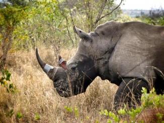 rhino pink horn FB Rhino Rescue Project