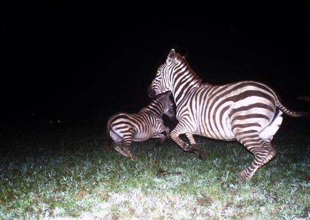 zebras-snapshot-serengeti-FB-page