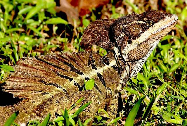 Brown-basilisk-Jesus-lizard-CC-Benjamint444