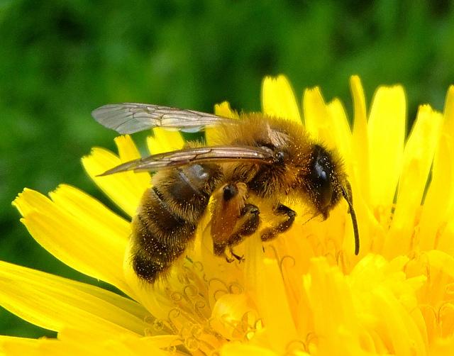 Honeybee CC orangeaurochs