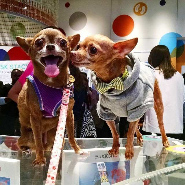 How Mervin the Rescue Chihuahua Melted 30,000 Hearts on