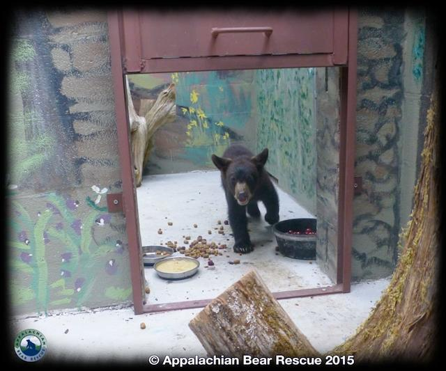 Noli Bear Appalachian Bear Rescue Facebook