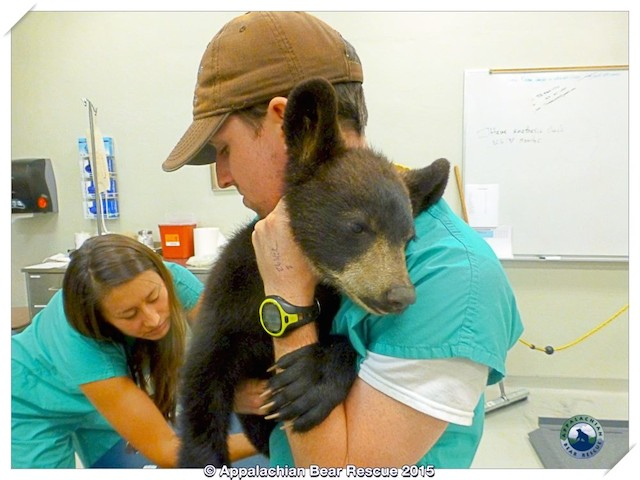 Noli Bear With Volunteers Appalachian Bear Rescue Facebook