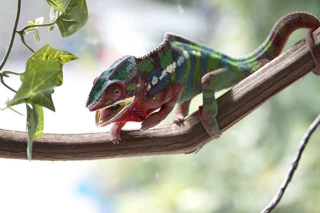 Panther chameleon CC Florence Ivy